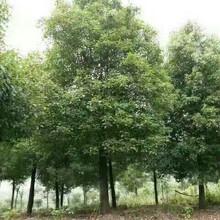 湖北18公分香樟树的价格供应江西地区香樟原生18公分全冠精品香樟树