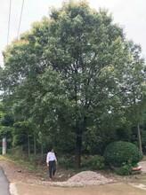 精品香樟树大量供应低分支20公分原生全冠香樟树的价格
