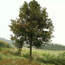 风景树供应胸径15公分广玉兰,工程广玉兰行道树