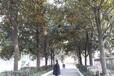 湖北广玉兰专供行道树12公分15公分18公分原生全冠精品广玉兰