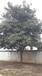 求购枇杷树的大量供应原生全冠精品15公分枇杷树低分支枇杷树的价格