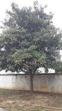 风景树供应胸径15公分枇杷树,工程枇杷树行道树