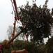 庭院枇杷树原生全冠15公分精品枇杷树