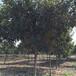 湖北枇杷米径9公分枇杷树原生全冠精品枇杷大量供应许昌地区低分支枇杷