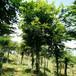湖北朴树供应12公分15公分18公分原生精品全冠朴树大规格朴树杆直冠圆