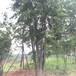 湖北丛生朴树的价格大量供应原生5杆丛生朴树
