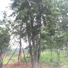 湖北原生5杆丛生朴树大量供应精品丛生朴树的价格