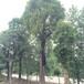 湖北红东园林移栽骨架香樟大规格405060公分大骨架香樟