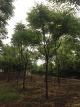 求购12公分栾树的注意了供应湖北栾树原生12公分黄山栾树