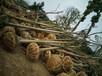 湖北栾树大量光杆裸根栾树出售12公分15公分18公分栾树的价格