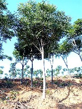 湖北红东园林大量供应原生全冠15公分栾树高分支三叉精品黄山栾树大量面向河南地区