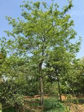 湖北朴树特价供应一手货源12公分朴树原生全冠精品朴树的价格