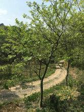 风景树供应胸径15公分沙朴,工程沙朴行道树