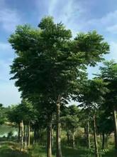 红东园林大量供应16公分栾树原生全冠精品18公分黄山栾树