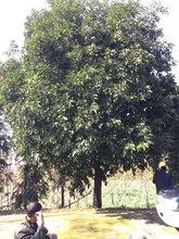 风景树供应胸径15公分香橼,工程香橼行道树
