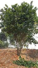 风景树供应胸径15公分胡柚,工程胡柚行道树