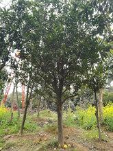 风景树供应胸径15公分香泡,工程香泡行道树