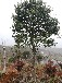 山东红果冬青树15公分的价格原生15公分全冠精品红果冬青树图片