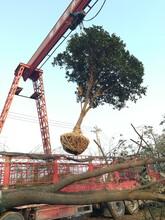 湖北柚子树原生全冠柚子树高分支精品15公分香橼香泡柚子树