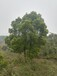 供应精品16公分香樟树三叉精品香樟树