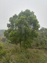 湖北19公分香樟的价格一精品原生冠香樟树