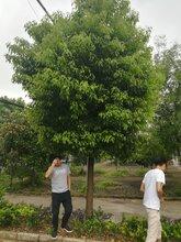 风景树供应胸径15公分小叶香樟,工程小叶香樟行道树