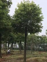 原生17公分香樟树一全冠精品香樟树的价格