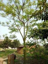 风景树供应胸径15公分复羽叶栾树,工程复羽叶栾树行道树