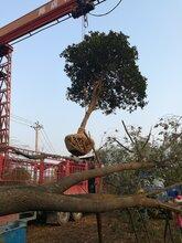 红东园林,工程苗柚子树,15cm柚子树大量供应