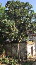 红东园林,工程苗枇杷树,15cm枇杷树大量供应