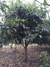 精品枇杷,原生冠,高分支低分支都有供应,荆州红东园林一手货源