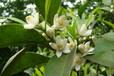 代加工玳玳花提取物价格,代代花提取工艺介绍,qs生产厂家