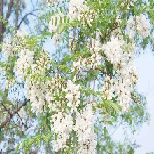 槐米槐花提取物槐米系列提取物98%槲皮素药食同源代加工图片