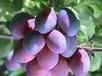 优质供应商代加工乌梅提取物乌梅浓缩粉各种植物提取物药食同源