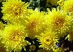 代加工菊花提取物菊花浓缩粉供应商药食同源各种植物提取物