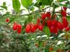 代加工枸杞提取物枸杞浓缩粉药食同源植物提取物
