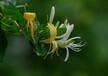 代加工金银花提取物金银花浓缩粉金银花价格药食同源植物提取物