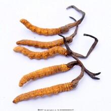 代加工固体饮料液体饮料压片糖果虫草提取物虫草浓缩粉图片