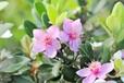 代加工固体饮料液体饮料压片糖果茶树花提取物茶树花浓缩粉