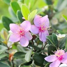 代加工固体饮料液体饮料压片糖果茶树花提取物茶树花浓缩粉图片
