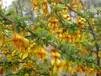 代加工金雀花提取物金雀花浓缩粉药食同源植物提取物