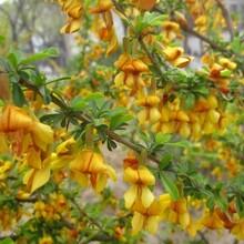 代加工金雀花提取物金雀花浓缩粉药食同源植物提取物图片