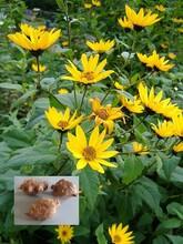 代加工菊芋提取物菊芋浓缩粉药食同源植物提取物供应商图片