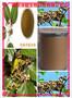 枳椇子提取物固体饮料代加工植物提取物图片