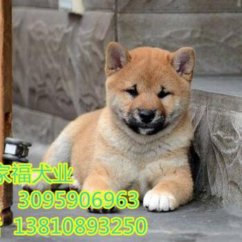 北京纯种柴犬多少钱北京哪卖柴犬幼犬北京家福犬业直销柴犬
