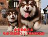 北京純種阿拉斯加幼犬多少錢一只熊版阿拉斯加可送貨上門