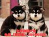 北京哪賣純種阿拉斯加犬大骨架阿拉斯加雪橇犬待售簽署協議