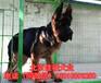 北京純種德牧犬多少錢一只大頭黑臉德牧高品質德牧幼犬