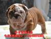 純種英國斗牛犬價格大鼻筋英國斗牛犬終身品質保證簽協議