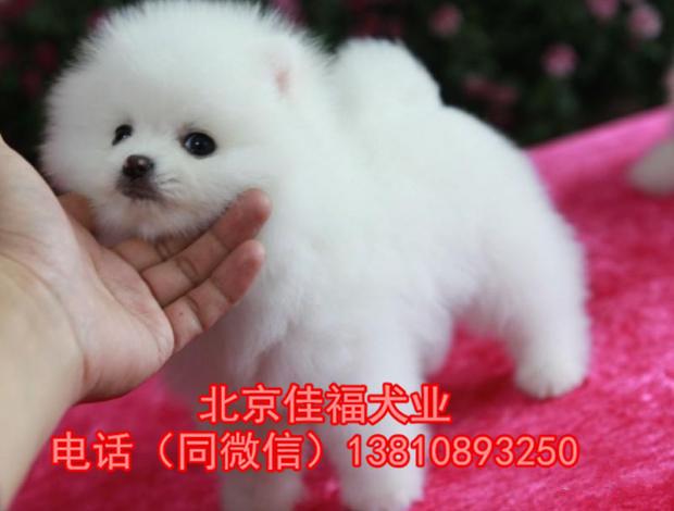 纯种博美犬多少钱北京哪有卖博美幼犬的出售高品质博美犬
